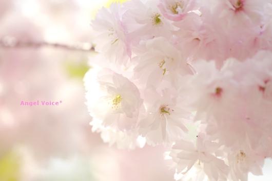 ラスト花見_d0147742_2142133.jpg