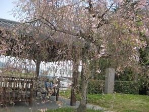 お花見 at 千鳥川 \(>_<)/~♪_e0163042_1147532.jpg