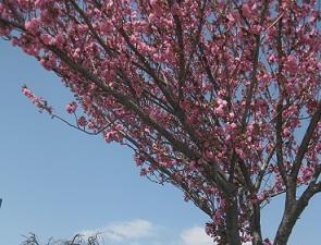 お花見 at 千鳥川 \(>_<)/~♪_e0163042_114844100.jpg