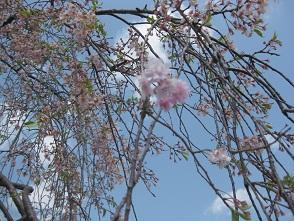 お花見 at 千鳥川 \(>_<)/~♪_e0163042_11485038.jpg