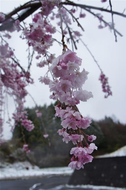 桜もブルブルの雪_d0001843_19553396.jpg