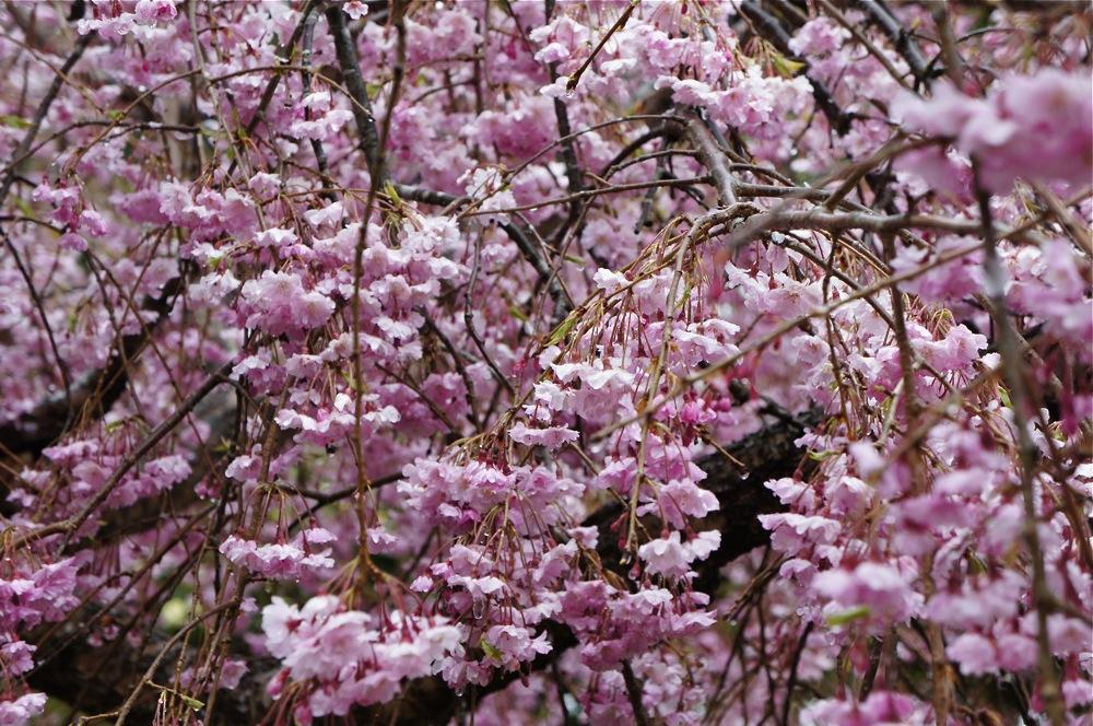 桜もブルブルの雪_d0001843_19592532.jpg