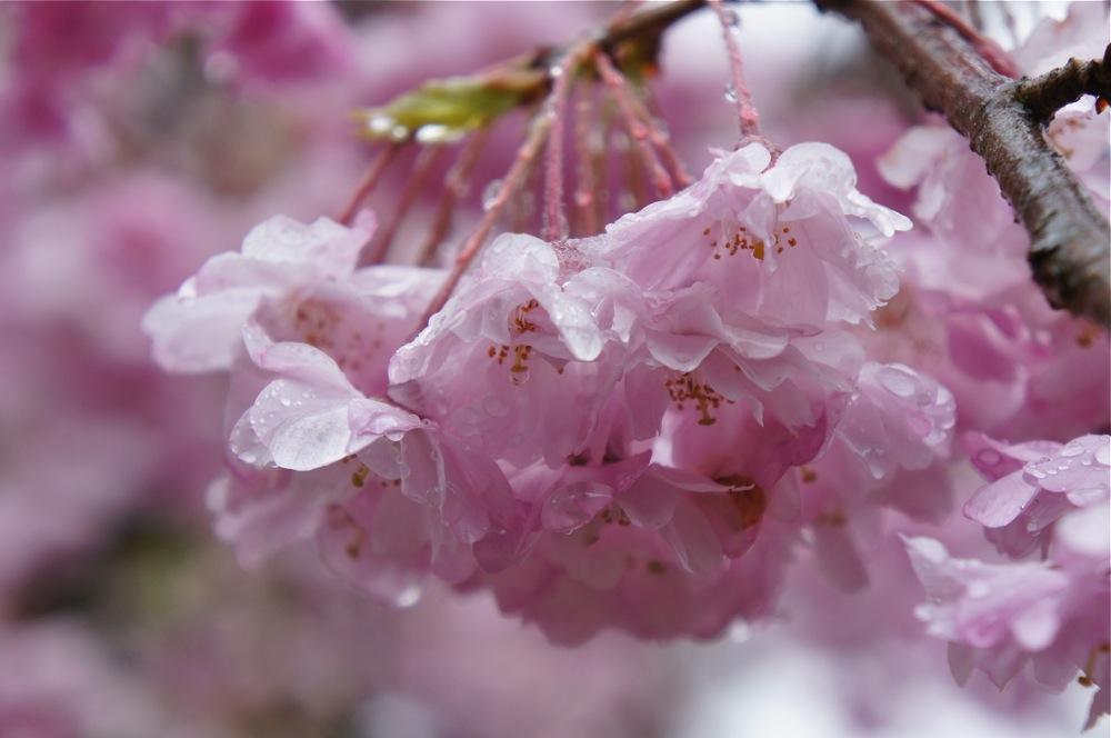 桜もブルブルの雪_d0001843_200944.jpg