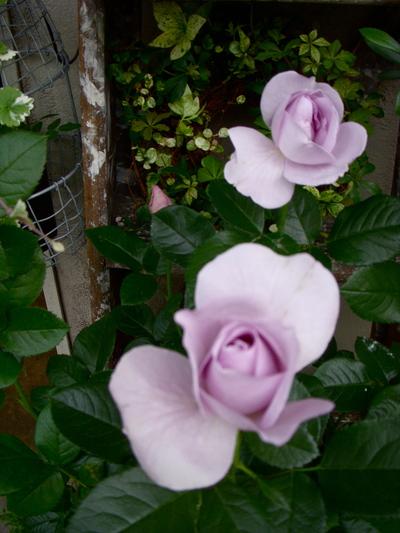 バラの季節。。。_a0229658_1322369.jpg
