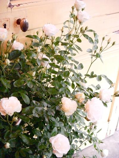 バラの季節。。。_a0229658_13321284.jpg