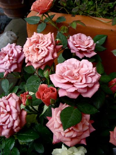 バラの季節。。。_a0229658_13342874.jpg