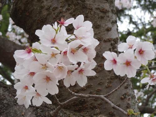 桜、見頃です_e0266363_9555391.jpg