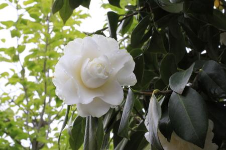 八重の白花椿_a0107574_16235698.jpg