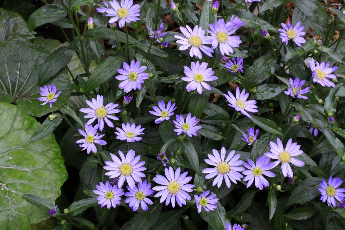 八重の白花椿_a0107574_16241476.jpg