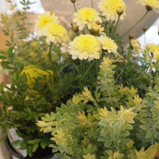 寄せ植え用の葉物植物ー第2弾_a0292194_17285419.jpg
