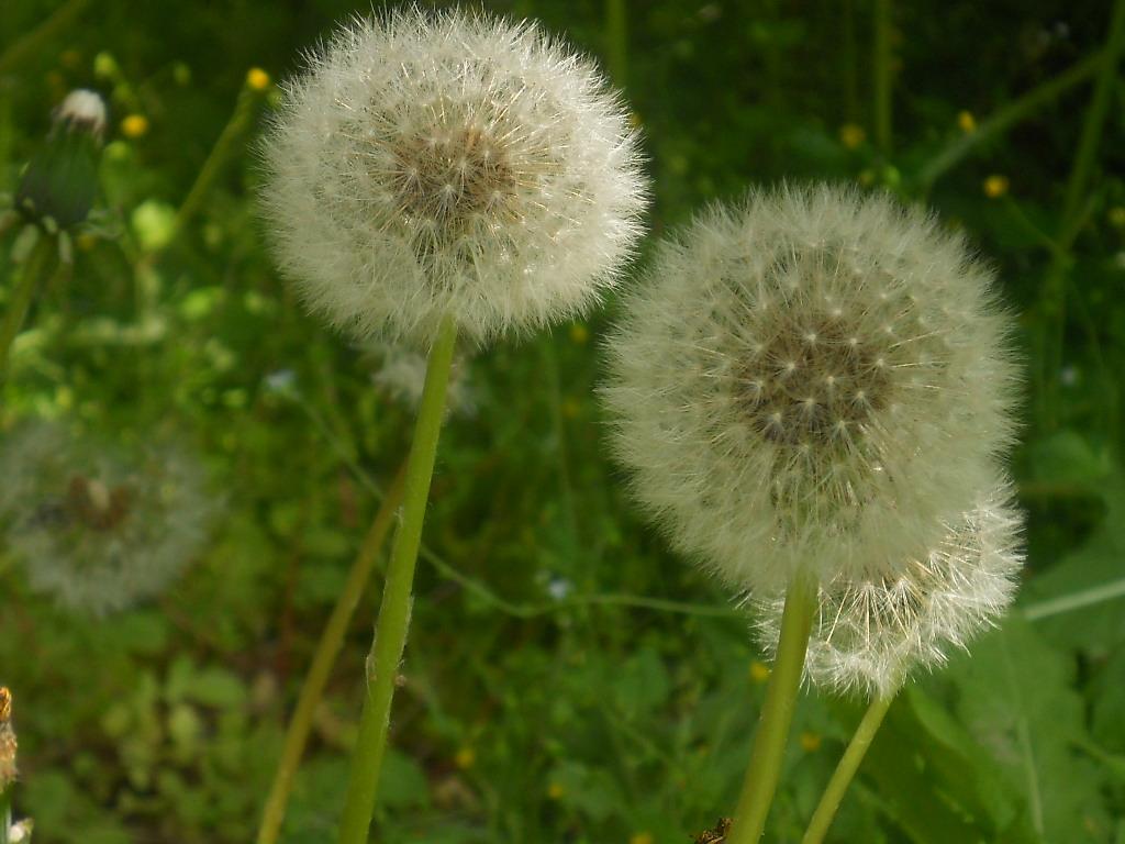 dandelion_f0146802_1529293.jpg