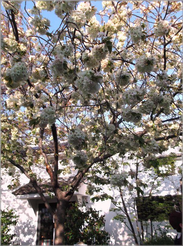 「京都・伏見・中書島~黄色い桜のある風景」_d0133024_9435053.jpg
