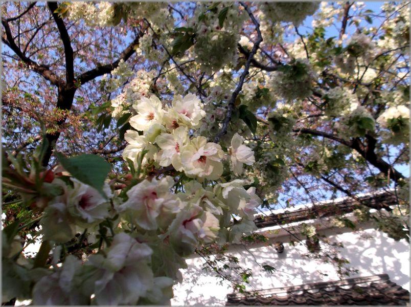 「京都・伏見・中書島~黄色い桜のある風景」_d0133024_9435573.jpg