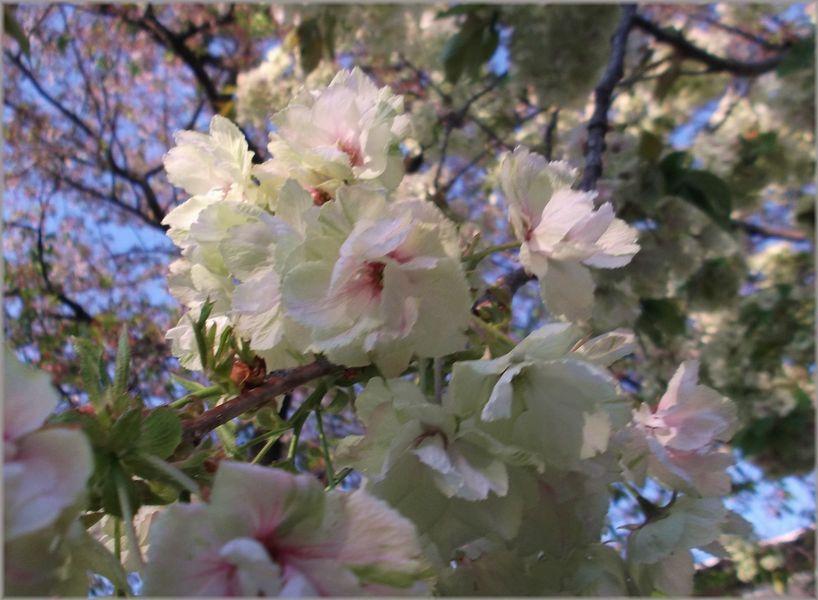 「京都・伏見・中書島~黄色い桜のある風景」_d0133024_9471392.jpg