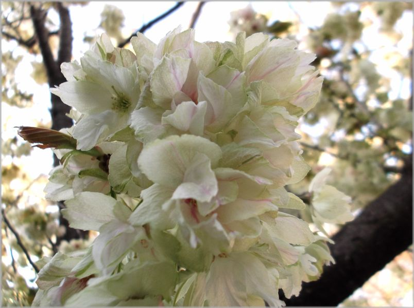 「京都・伏見・中書島~黄色い桜のある風景」_d0133024_9472342.jpg