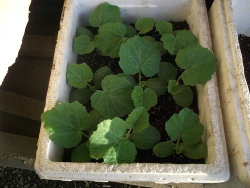 夏野菜の苗...あれこれ_b0137932_21131220.jpg