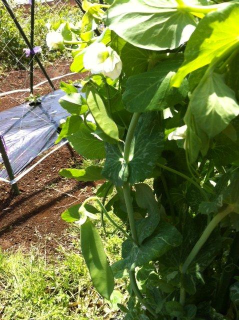 イタリアトマトの苗・定植 寒さでぎりぎりです・・・。_c0222448_1539244.jpg