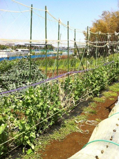 イタリアトマトの苗・定植 寒さでぎりぎりです・・・。_c0222448_1547041.jpg