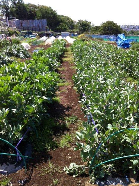 イタリアトマトの苗・定植 寒さでぎりぎりです・・・。_c0222448_15475332.jpg