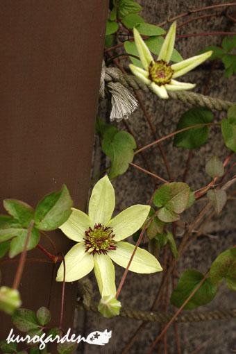 咲いてきたの色々_e0119151_11503743.jpg