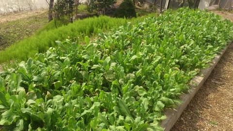 新柳産の無農薬「とう菜」ですよ。_d0182179_11221746.jpg