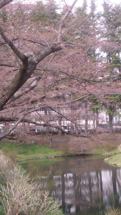 もうすぐ咲くぞ!!・・・・・桜前線到達!_b0169403_20234113.jpg