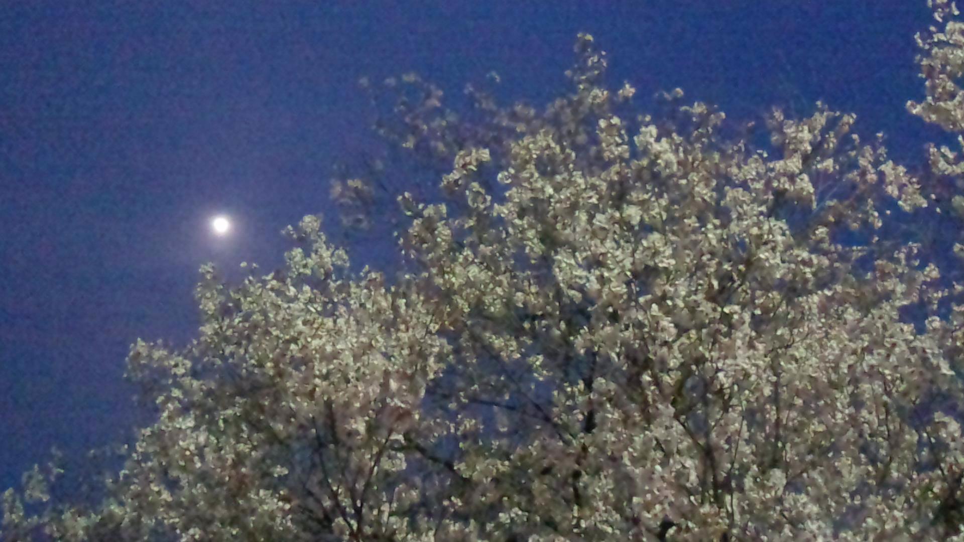 夜桜そぞろ歩き_d0171222_21332895.jpg