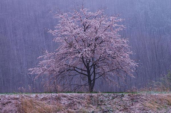 雪中桜花図_a0165546_8462697.jpg