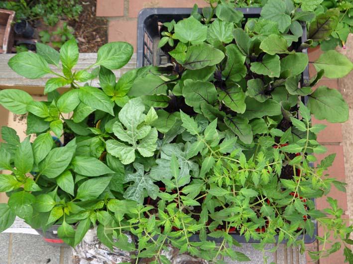 コダマスイカ、トマト、ナスなど夏野菜一気に植え付け:4・23_c0014967_21335062.jpg