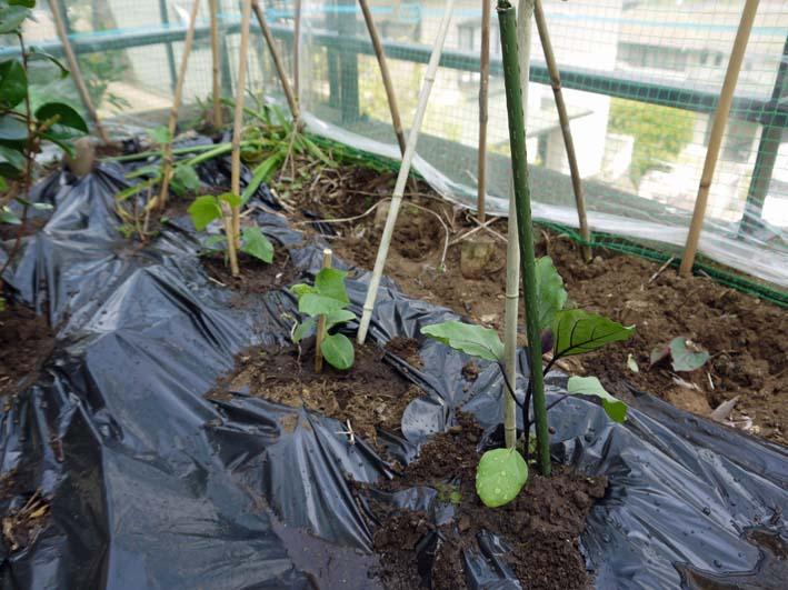 コダマスイカ、トマト、ナスなど夏野菜一気に植え付け:4・23_c0014967_21362579.jpg