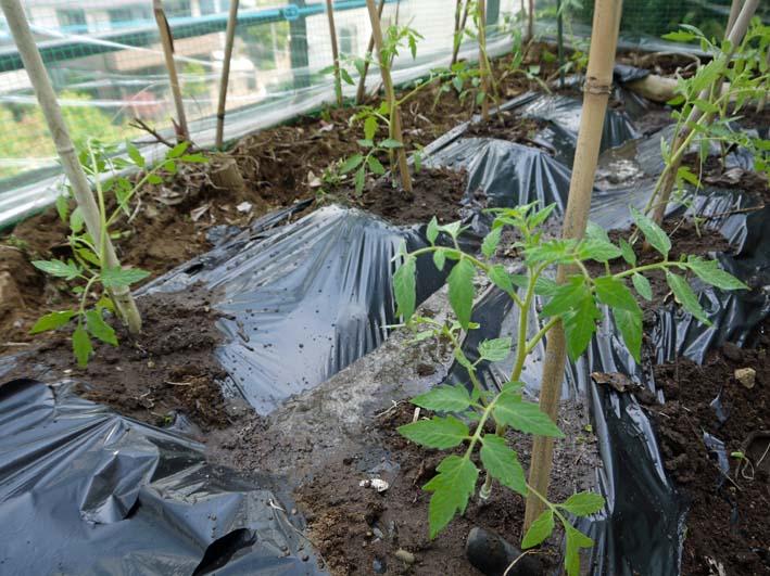 コダマスイカ、トマト、ナスなど夏野菜一気に植え付け:4・23_c0014967_2136537.jpg