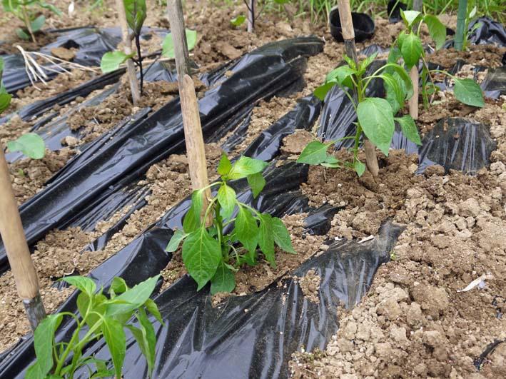 コダマスイカ、トマト、ナスなど夏野菜一気に植え付け:4・23_c0014967_21371384.jpg