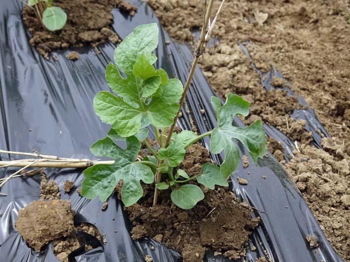 コダマスイカ、トマト、ナスなど夏野菜一気に植え付け:4・23_c0014967_21373575.jpg