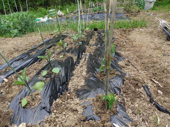 コダマスイカ、トマト、ナスなど夏野菜一気に植え付け:4・23_c0014967_21393673.jpg