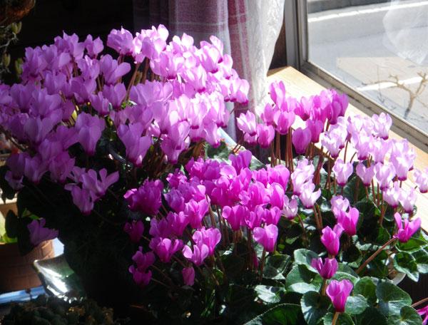 ミニシクラメンの開花。親株と実生4年の子_a0136293_1857054.jpg
