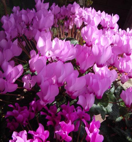ミニシクラメンの開花。親株と実生4年の子_a0136293_18584310.jpg
