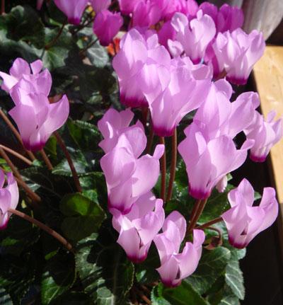 ミニシクラメンの開花。親株と実生4年の子_a0136293_1904912.jpg