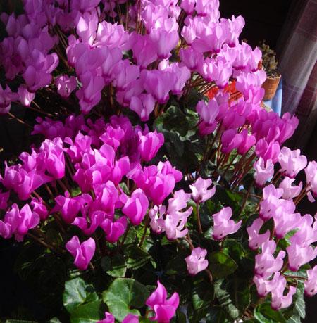 ミニシクラメンの開花。親株と実生4年の子_a0136293_1935192.jpg
