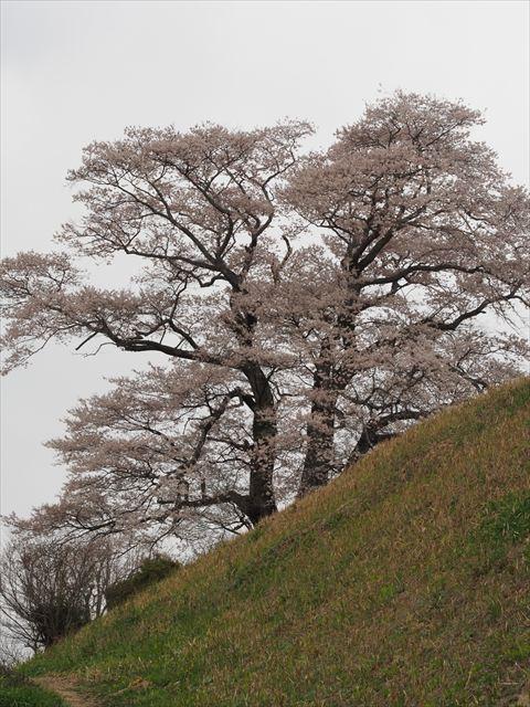 天神桜 曇りのち雪_f0224100_871443.jpg