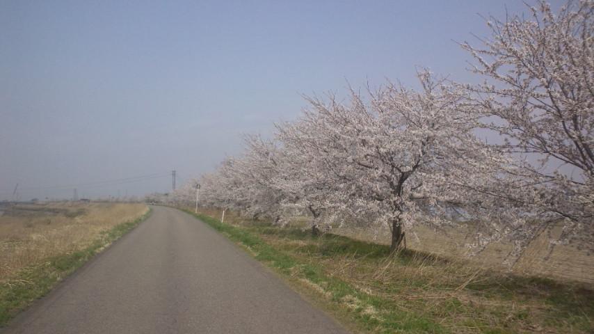 また桜_e0273004_8223212.jpg