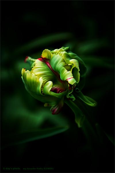 Pretty Tulip !!!!_e0117517_23362358.jpg