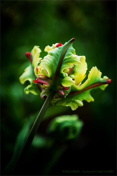 Pretty Tulip !!!!_e0117517_23364950.jpg