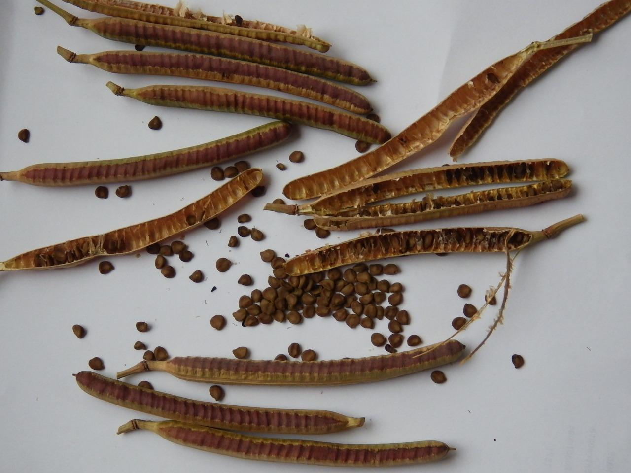 「ハブ茶の種」の画像検索結果
