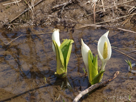 咲き始めたばかりの水芭蕉_e0120026_22225612.jpg