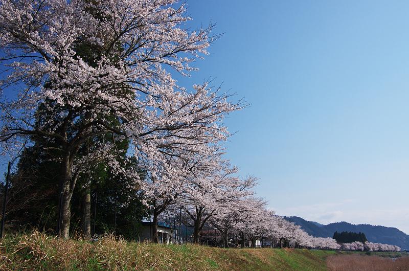 朽木新本陣の桜並木_f0155048_0404192.jpg