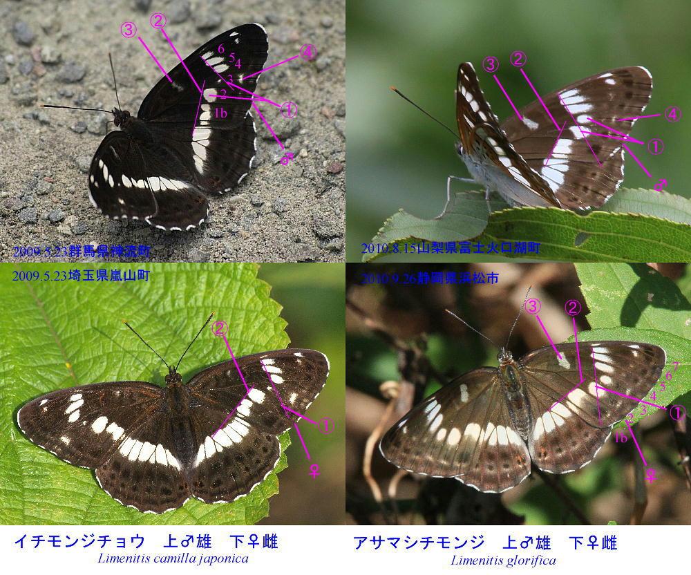 類似2☆ イチモンジチョウ × アサマイチモンジ  翅表比較図Ⅱ_a0146869_21135070.jpg