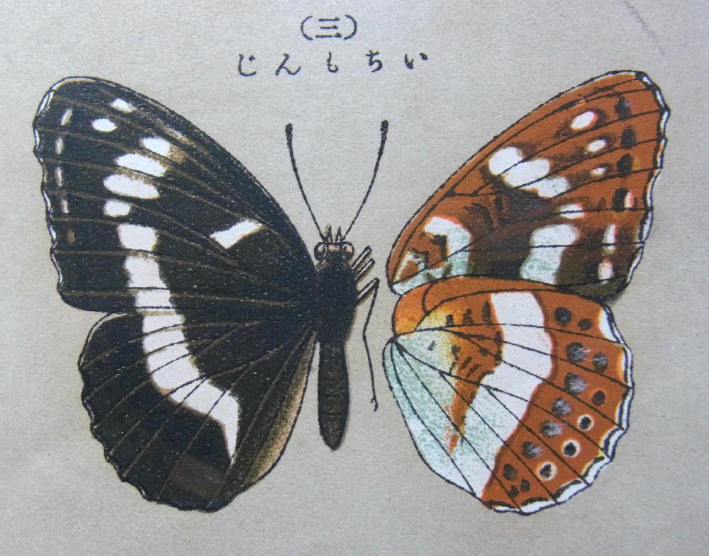 類似2☆ イチモンジチョウ × アサマイチモンジ  翅表比較図Ⅱ_a0146869_2121793.jpg