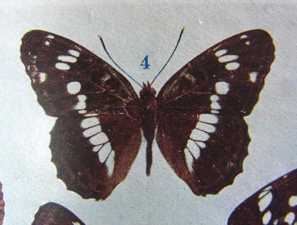 類似2☆ イチモンジチョウ × アサマイチモンジ  翅表比較図Ⅱ_a0146869_21294823.jpg