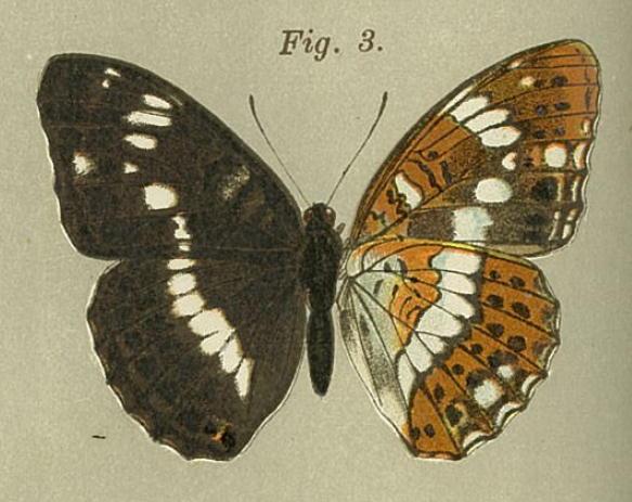 類似2☆ イチモンジチョウ × アサマイチモンジ  翅表比較図Ⅱ_a0146869_21413390.jpg