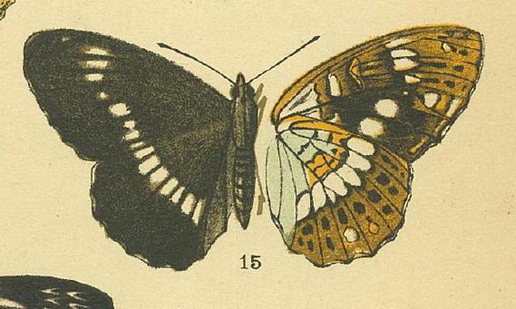 類似2☆ イチモンジチョウ × アサマイチモンジ  翅表比較図Ⅱ_a0146869_21533597.jpg